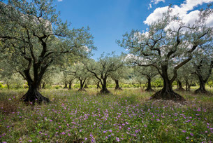 Ancient Olive Trees (Olea europaea), Buis-les-Baronniesの写真素材 [FYI02337948]