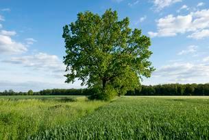 Solitary Pedunculate Oak (Quercus robur) in a field, Lowerの写真素材 [FYI02337960]