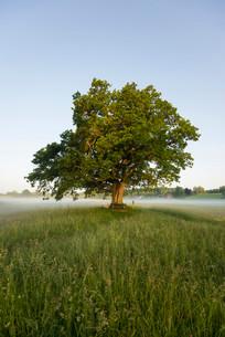 Morning atmosphere, Mozart Oak, Seeon, Chiemgau, Upperの写真素材 [FYI02338007]