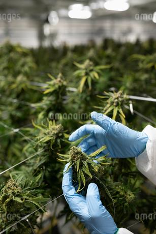 Grower inspecting cannabis plantの写真素材 [FYI02338044]