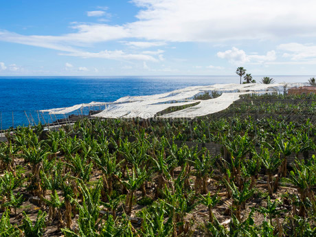 Banana plantation with sunscreens in Puerto Naos, La Palmaの写真素材 [FYI02338064]