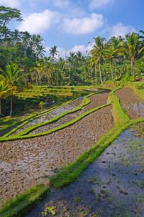 Rice terraces at the Pura Gunung Kawi temple, Baliの写真素材 [FYI02338095]