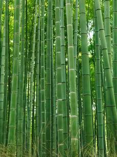 Green stems of bamboo forest, Arashiyama, Kyoto, Japan, Asiaの写真素材 [FYI02338136]