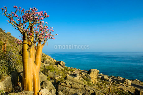 Bottle Tree (Adenium obesum) in bloom, endemic speciesの写真素材 [FYI02338181]
