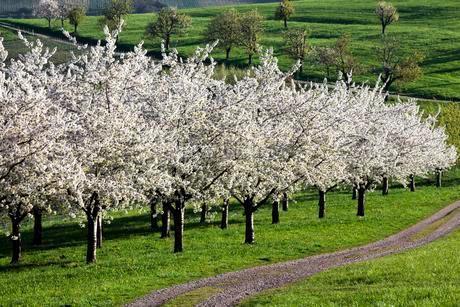 Cherry trees in full blossom, Obereggenenの写真素材 [FYI02338184]