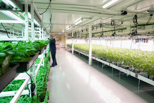 Grower inspecting cannabis seedlings in incubationの写真素材 [FYI02338208]