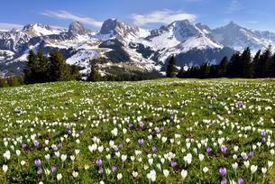 Flowering crocus meadow at the Gurnigel pass, Bernese Alpsの写真素材 [FYI02338238]