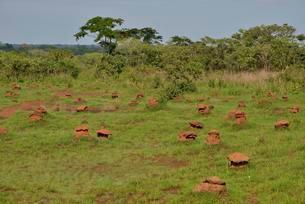 Mushroom-shaped termite mounds (Cubitermes fungifaber)の写真素材 [FYI02338248]
