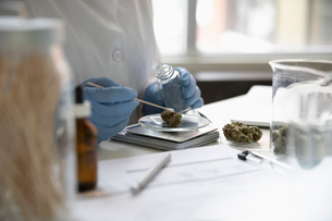 Quality control specialist testing and measuring marijuana budsの写真素材 [FYI02338295]