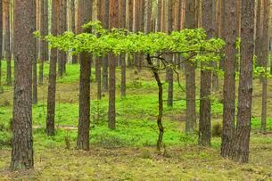 Young Oak tree (Quercus), growing in between Scots Pinesの写真素材 [FYI02338383]