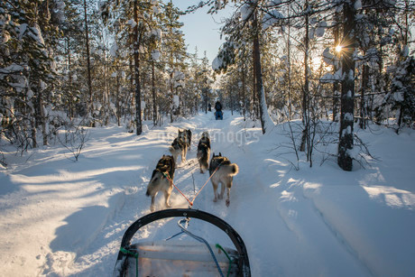 Sledging with a dog sledge, Riisitunturi National Parkの写真素材 [FYI02338435]