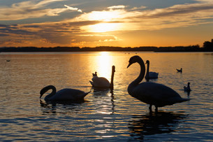 Mute swans (Cygnus olor), evening mood at Lake Chiemsee, inの写真素材 [FYI02338437]