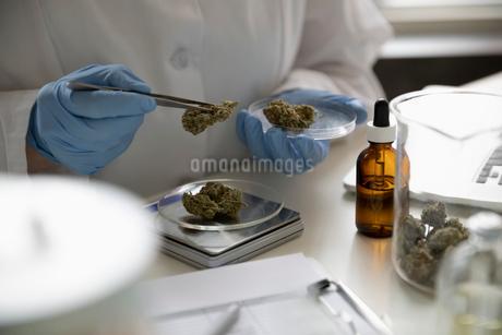 Quality control specialist measuring marijuana budsの写真素材 [FYI02338509]