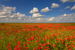 Meadow with Poppies (Papaver rhoeas), with cloudsの写真素材 [FYI02338567]