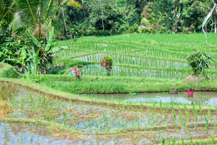 Gunung Batukau rice fields, Bali, Indonesia, Asiaの写真素材 [FYI02338592]