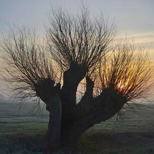 Pollarded willow (Salix spc.) at sunrise, Lower Rhineの写真素材 [FYI02338631]
