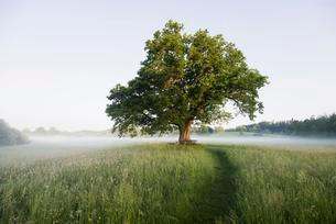 Morning atmosphere, Mozart Oak, Seeon, Chiemgau, Upperの写真素材 [FYI02338656]