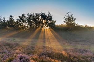 Sun rays penetrate the morning mist above heathlands, Henneの写真素材 [FYI02338694]