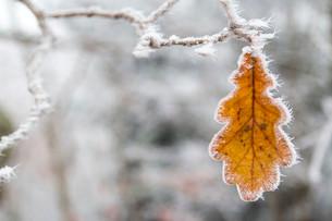Oak leaf with hoarfrost, Germany, Europeの写真素材 [FYI02338699]