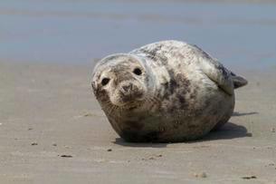 Harbor seal (Phoca vitulina), Heligolandの写真素材 [FYI02338773]
