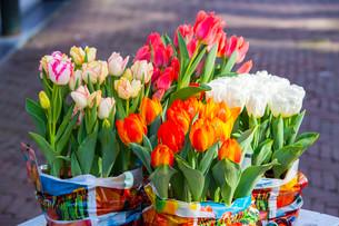 Tulips (Tulipa) in bulk containers, Alkmaar, North Hollandの写真素材 [FYI02338795]