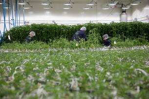Growers tending to cannabis plantsの写真素材 [FYI02338858]