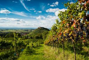 Vineyards and Staufen castle, behind the Rhine Valleyの写真素材 [FYI02338896]