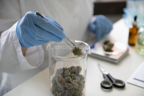 Quality control specialist measuring marijuana budsの写真素材 [FYI02338901]