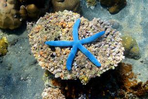 Blue Starfish (Linckia laevigata), North Bali, Baliの写真素材 [FYI02338925]