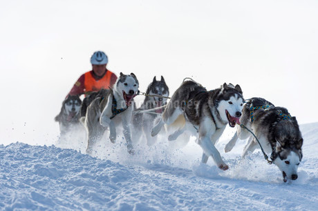 Sled dog racing, sled dog team in winter landscapeの写真素材 [FYI02339050]