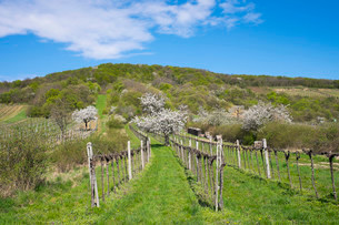 Blossoming cherry trees in vineyard, Donnerskirchen, Leithaの写真素材 [FYI02339052]