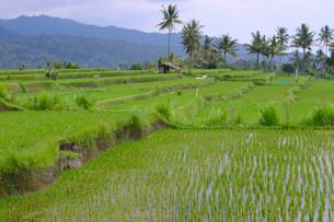 Rice paddies and rice terraces, Munduk, Central Bali, Baliの写真素材 [FYI02339097]