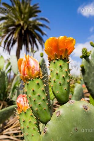 Flowering Prickly Pear Cactus (Opuntia), Gran Canariaの写真素材 [FYI02339113]