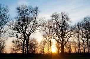 Sunset behind Poplar trees (Populus spp.) with mistletoeの写真素材 [FYI02339123]