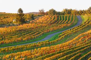 Autumnal vineyards, Neckenmarkt, Mittelburgenland orの写真素材 [FYI02339131]