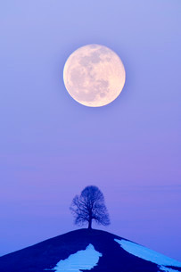 Lime Tree (Tilia) on a moraine hill at full moon, Canton ofの写真素材 [FYI02339134]