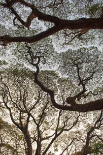 Raintree (Samanea saman), Kochi, Cochin, Kerala, India, Asiaの写真素材 [FYI02339148]