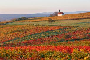 Autumnal vineyards, wine garden chapel in Neckenmarktの写真素材 [FYI02339156]