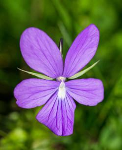 Horn Violet (Viola cornuta), Catalonia, Spain, Europeの写真素材 [FYI02339177]