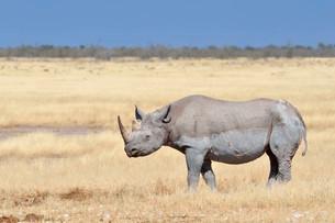 Black Rhinoceros (Diceros bicornis), adult male, standingの写真素材 [FYI02339182]