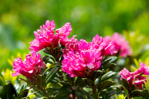 Hairy Alpenrose (Rhododendron hirsutum), Catalonia, Spainの写真素材 [FYI02339199]