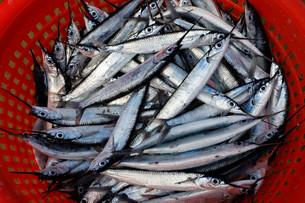 Silvery fish, Garfish (Belone belone), in a plastic basketの写真素材 [FYI02339206]