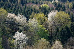 Mixed forest in spring, Lafnitztal, view from theの写真素材 [FYI02339280]