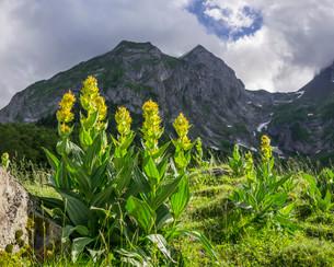 Great Yellow Gentian (Gentiana lutea), Val dera Artiga deの写真素材 [FYI02339305]