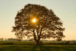 Solitary Pedunculate Oak (Quercus robur), backlit, Lowerの写真素材 [FYI02339317]