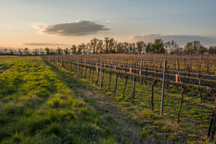 Sunset in vineyard, Lake Neusiedl National Parkの写真素材 [FYI02339321]