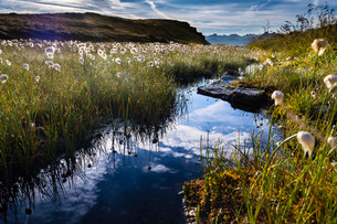Cotton Grass (Eriophorum) with stream and mountainsの写真素材 [FYI02339333]