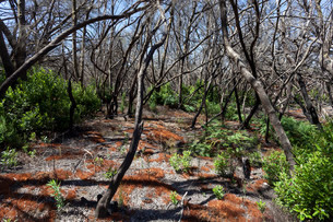 Charred tree trunks, remains of the forest fire in Augustの写真素材 [FYI02339341]