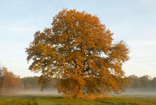 Solitary Pedunculate Oak (Quercus robur) in autumn, inの写真素材 [FYI02339354]