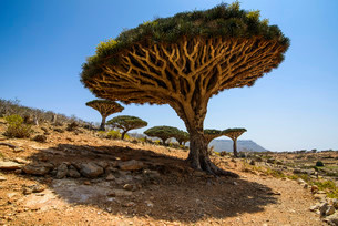 Socotra Dragon Trees or Dragon Blood Trees (Dracaenaの写真素材 [FYI02339359]